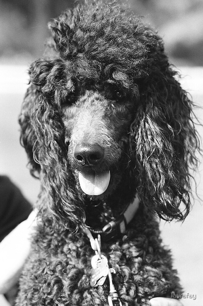 Poodle by laurafay