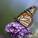 Monarch Butterfly by Gregg Williams