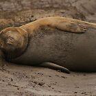 Grey Seal at Donna Nook by Jonathan Cox