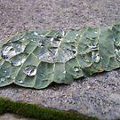 A Dewy Leaf by Greg Schroeder