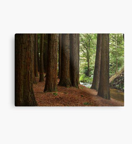 Californian Redwoods, Otway Ranges,Victoria Metal Print
