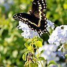 Black Swallowtail Butterfly by L.D. Franklin