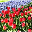 Dutch Splendour - Red Tulips and Blue Muscari von BlueMoonRose
