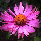 Echinacea purpurea by ienemien
