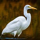 Egret Wading by gemlenz