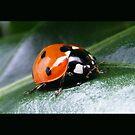 Ladybird by wahboasti