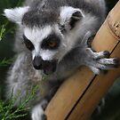 Cheeky lemur by lee  adam