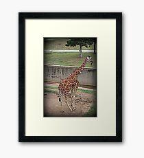 Giraffe/Abilene Zoo Framed Print