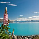 Lupins, Mount Cook, and Lake Pukaki, New Zealand by Darren Newbery