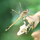 dragonfly by Sheila McCrea