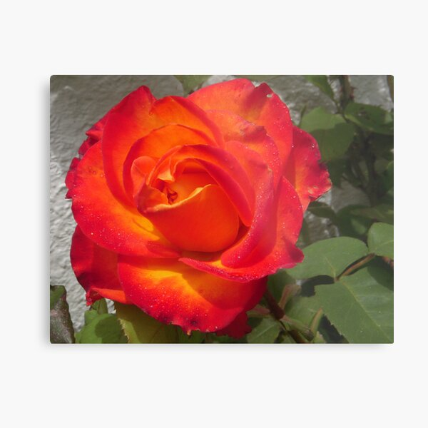 Joseph's Coat Rose Metal Print