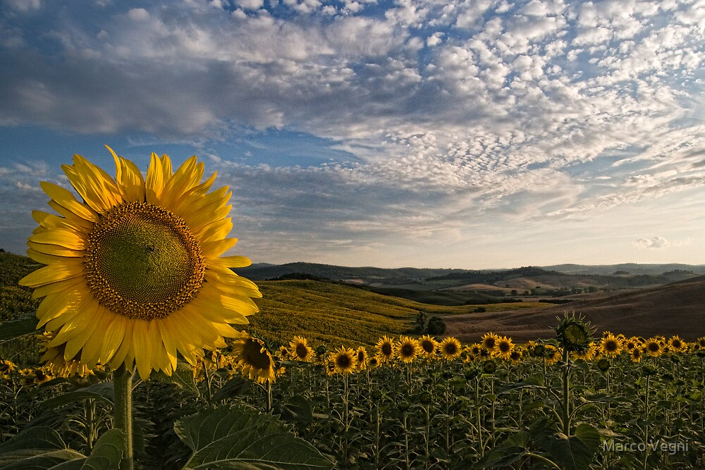 Quot Tuscany Sunflowers Quot By Marco Vegni Redbubble