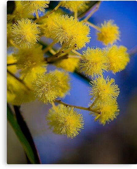 Golden wattle - Australia's floral emblem by GayeLaunder Photography
