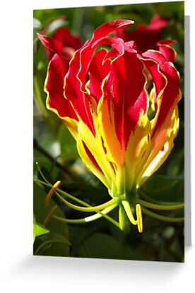 Flame Lily by Bob Hardy
