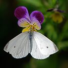 White Butterfly by Pamela Hubbard