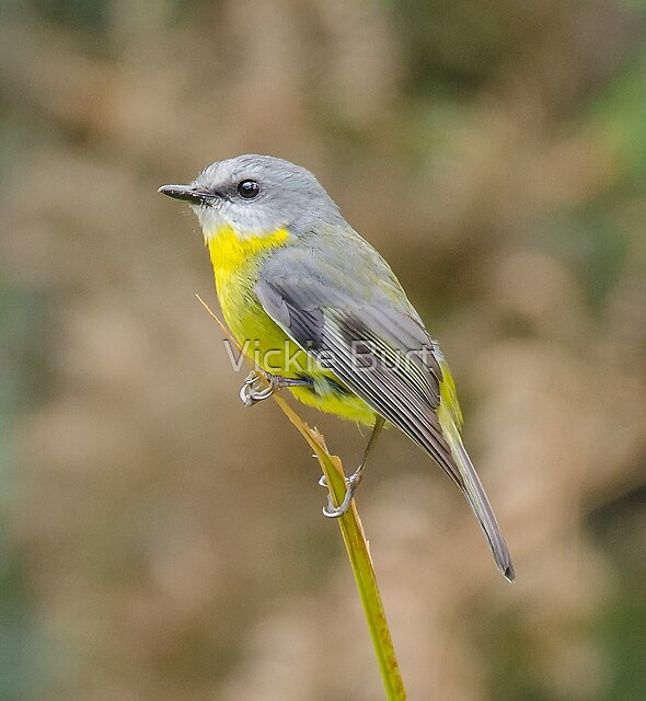 Eastern Yellow Robin by Vickie Burt