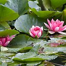 Water Lilly by Sandra Mangnall