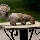 Grey Squirrel, photograph by Vic Potter by Vic Potter