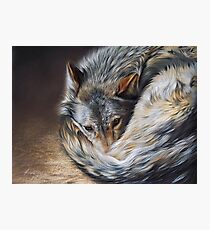 Watchful rest (Grey Wolf) Photographic Print