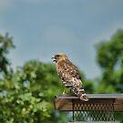 Screaming Hawk by Rick  Friedle