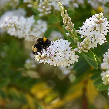 Bumblebee on a hebe bush by RRRichards