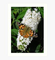 Painted Lady butterfly (Vanessa cardui) on white butterfly bush (buddleia) (1) Art Print