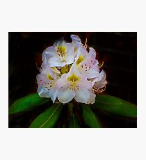 Gossamer Rhododendrum Photographic Print