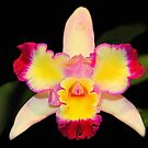 Multi Coloured Cattleya Orchid by vette