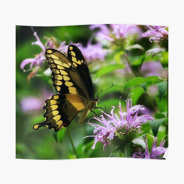 Tiger Swallowtail & Bee balm Poster