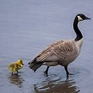 Branta Canadensis - Canada Goose With Gosling by © Sophie W. Smith