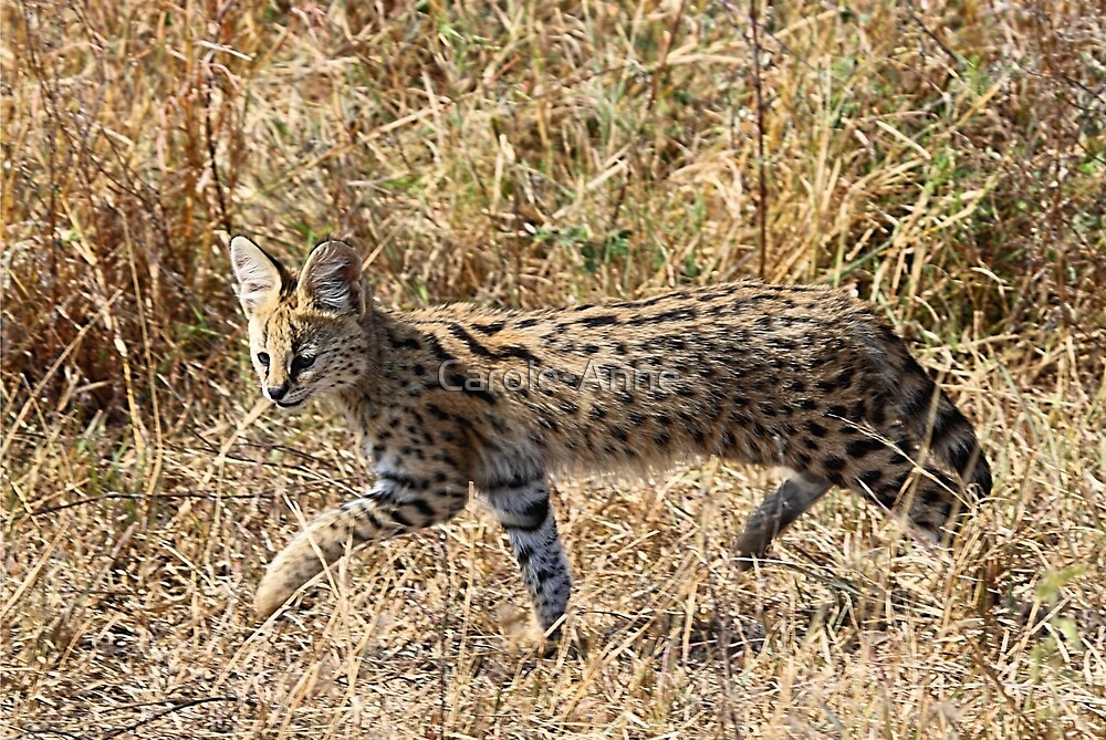Serval Cat Kitten, Serengeti, Tanzania   by Carole-Anne