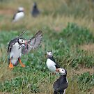 Farne Island Puffins by WhartonWizard