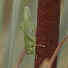 Great Green Bushcricket by Minne