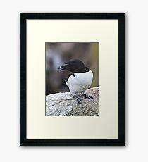 Razorbill, Saltee Island, County Wexford, Ireland Framed Print