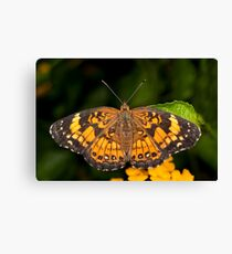 Little Pearl Crescent Butterfly Canvas Print