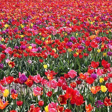 Rainbow Tulip Garden by Jokus