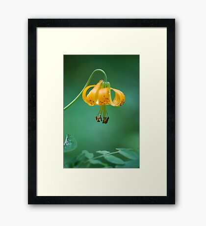 Wild Mountain Lily Framed Print