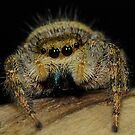 Jumping Spider by main1