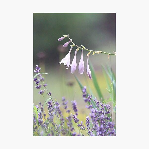 Pretty in lavender Photographic Print
