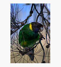 Australian Ringneck Parrot Photographic Print