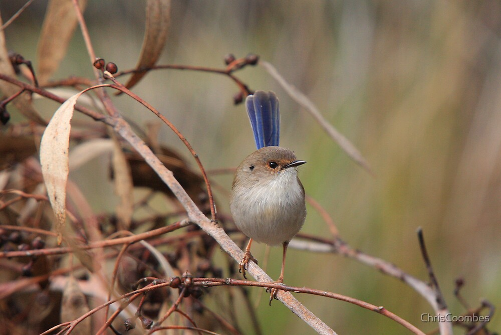Superb Fairy-Wren ~ young male II by ChrisCoombes