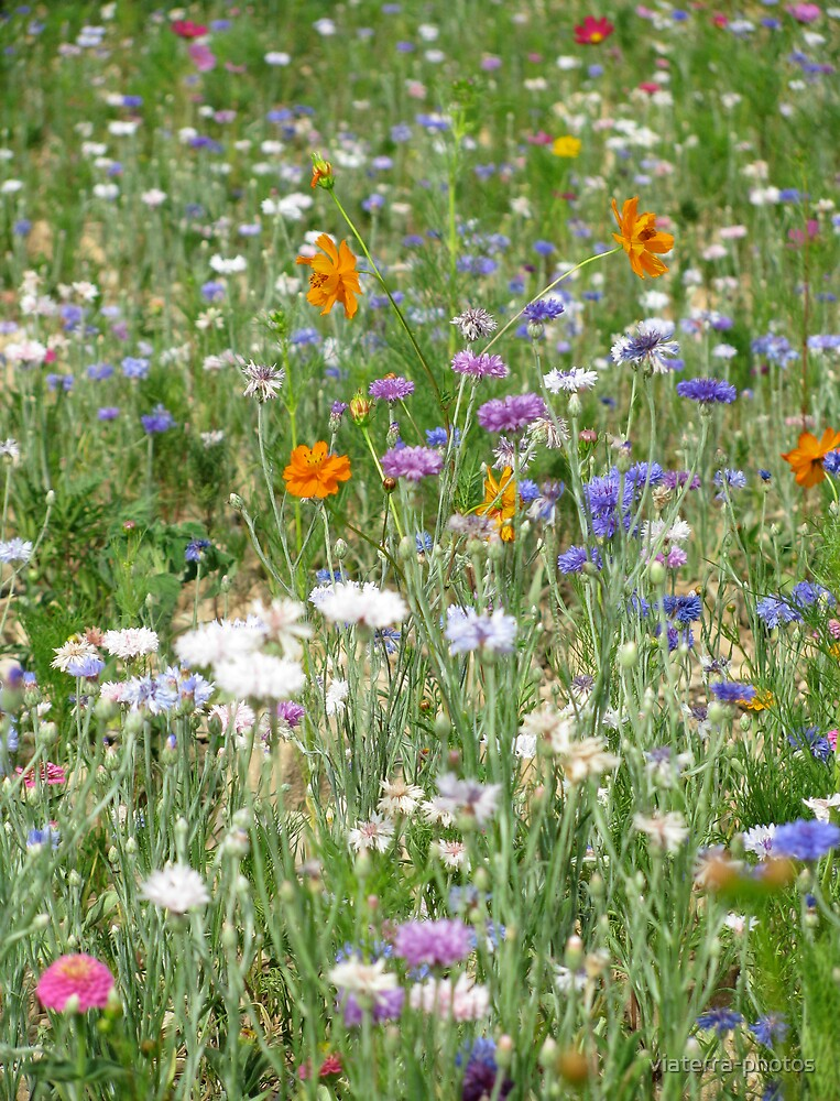 a field of wild flowers by viaterra-photos