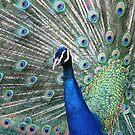 Peacock display by viaterra-photos