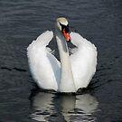Swan wings apart by viaterra-photos