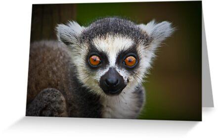 Bright baby eye' d lemur ....... by jdmphotography