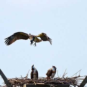 Baby Osprey's Flight Practice by ginawaltersdorf