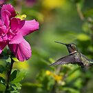Male Ruby-Throated Hummingbird by Rob Lavoie