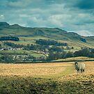 Yorkshire Dales Lone Sheep by RamblingTog