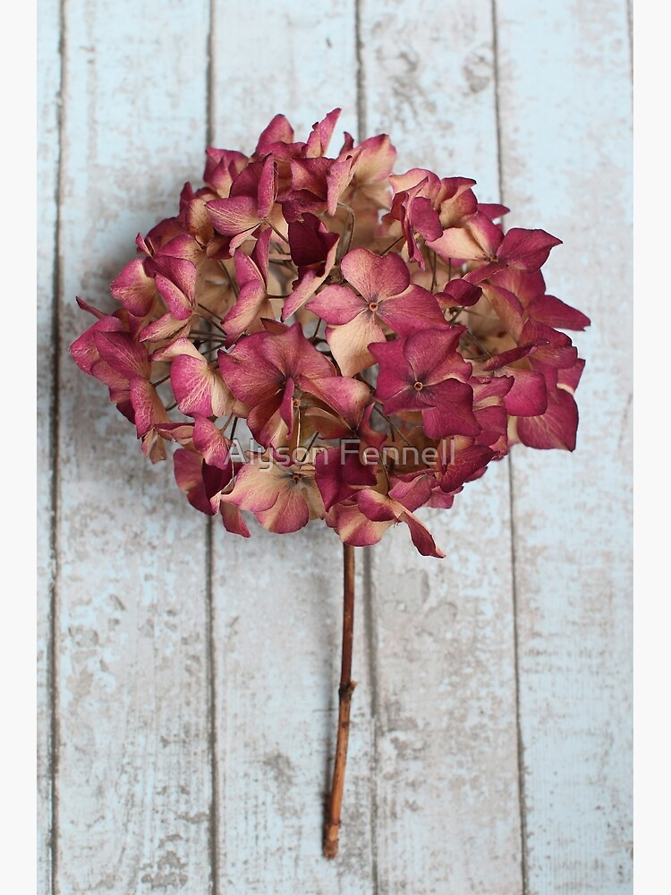 Pink Dried Hydrangea by AlysonFennell