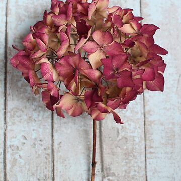 Pink Dried Hydrangea by AlysonFennell